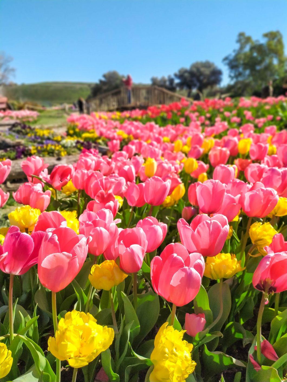 tulipani in sardegna Turri
